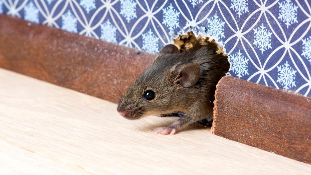 Come allontanare da casa topi e ratti - Come catturare un topo in casa ...