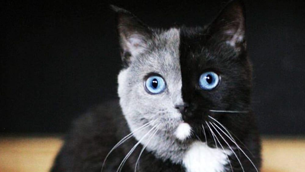 Narnia il gatto star del web con la testa di due colori - Immagine del gatto a colori ...