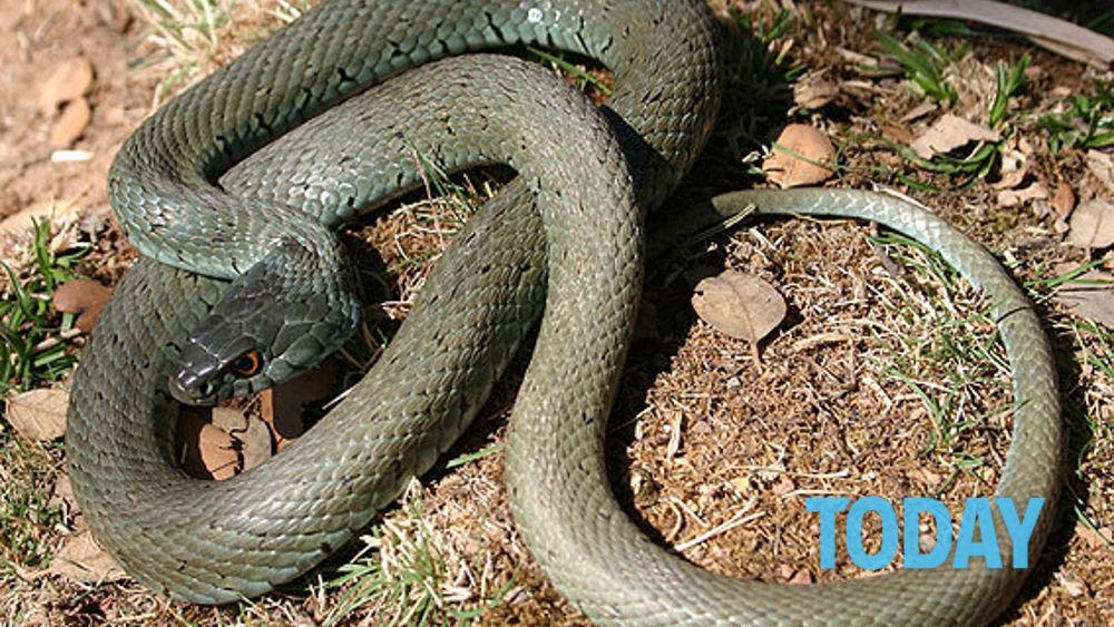 Trova un serpente lungo due metri nel piatto doccia - Non riesco ad andare in bagno ...