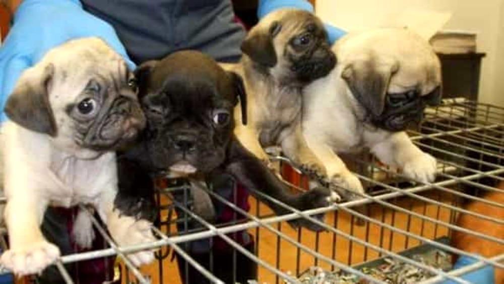 Vicenza, sequestrati 26 cuccioli pronti per essere venduti sul web