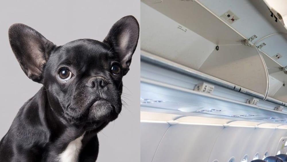 Cane costretto a viaggiare nella cappelliera muore prima for Cane nella cabina dell aereo
