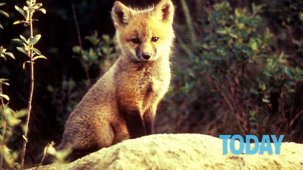 Il cucciolo di volpe che gioca come un cagnolino guarda - Immagini di volpe spugna a colori ...